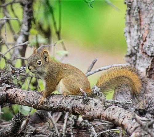 squirrel woods alaska