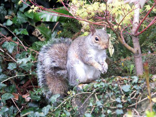 squirrel garden grey