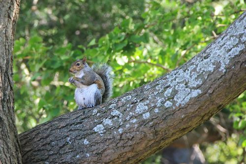 squirrel tree nager