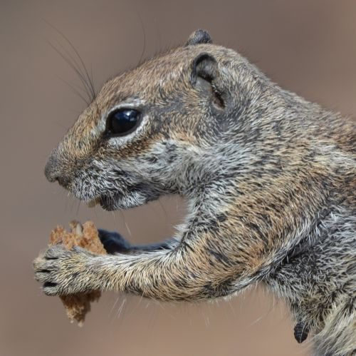 squirrel ground squirrel animal