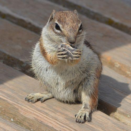squirrel ground squirrel chipmunk
