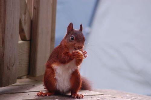 squirrel food mammal