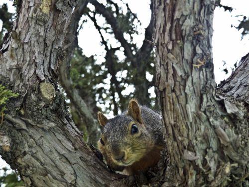Squirrel Glancing At Camera