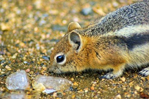 squirrel investigating ice  ground  squirrel