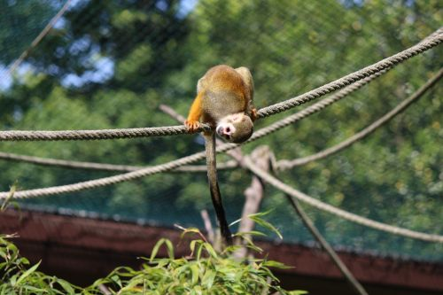 squirrel monkey monkey capuchin-like