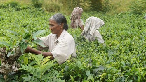 sri lanka tea harvest tee