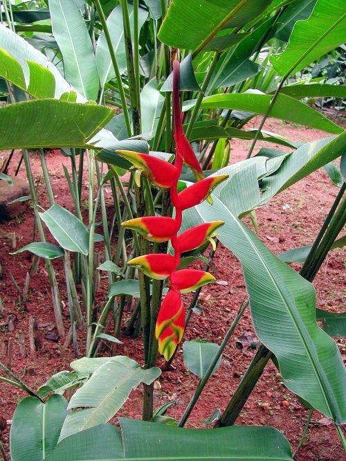 sri lanka heliconia flower