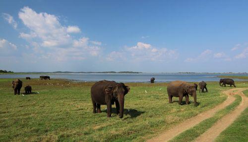 sri lanka elephant baby elephant
