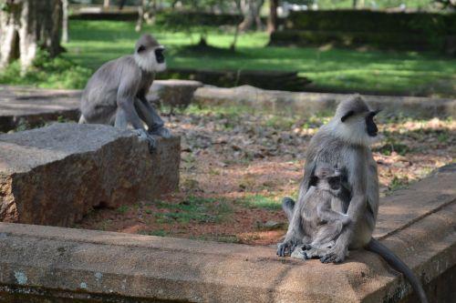 sri lanka monkey park