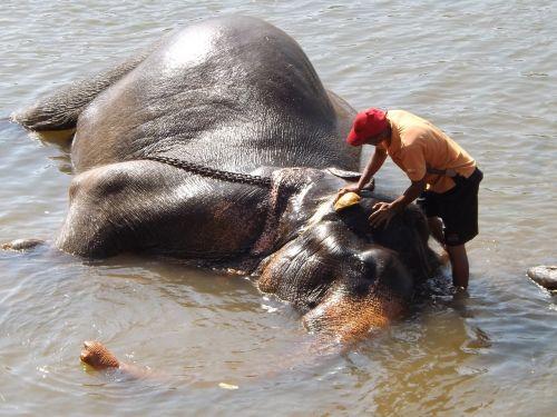 sri lanka washing elephant