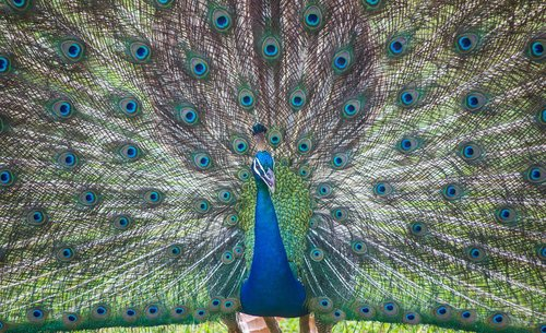 sri lanka  ceylon  peacock