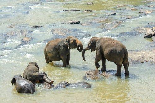 sri lankan elephant  elephant  asian