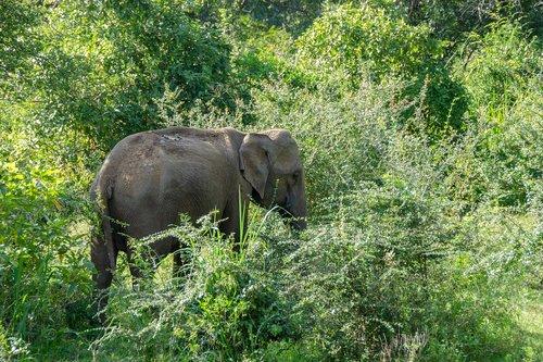sri lankan elephant  elephant  wildlife