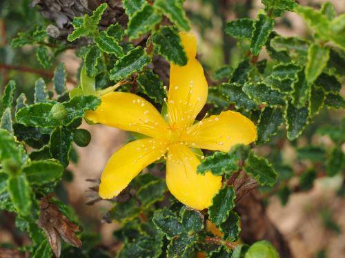 st john's wort blossom bloom