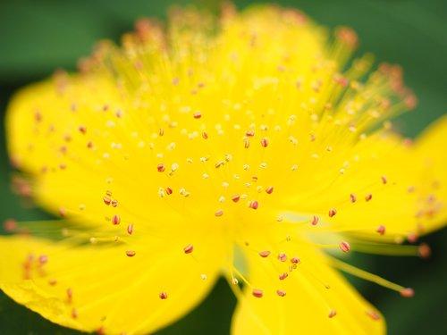 st john's wort  flower  blossom