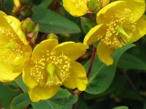 st john's wort hypericum yellow