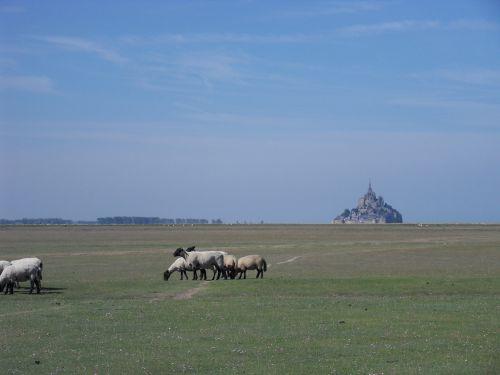 st michael's mount mont-saint-michel sheep