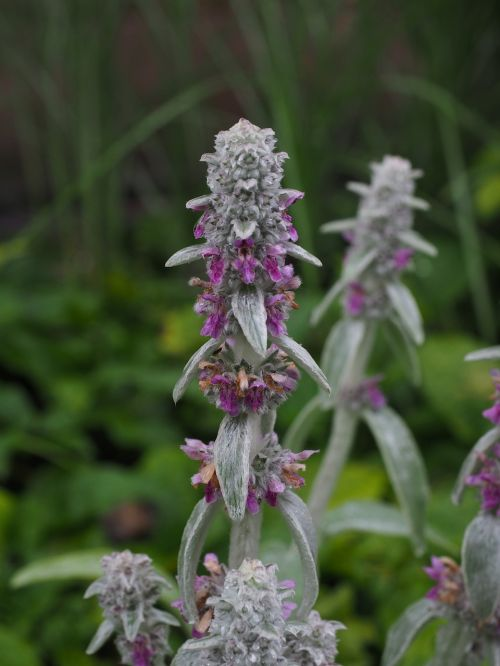 stachys wool stachys flowers