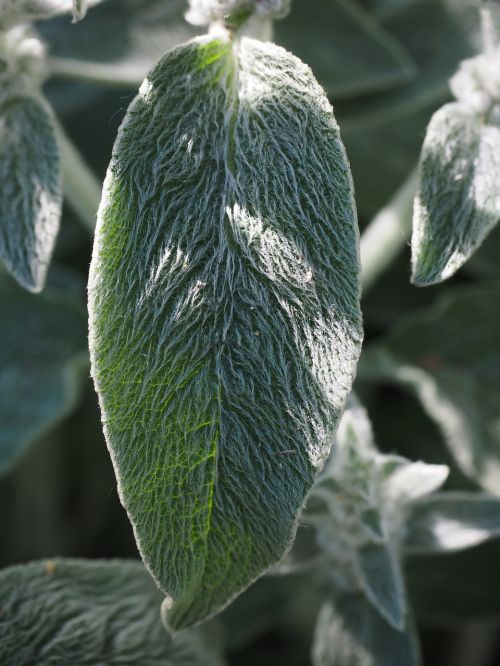 stachys wool stachys leaf