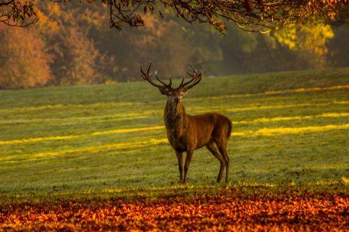 stag nature deer