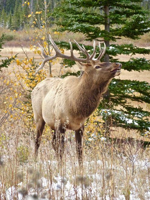 stag elk calling