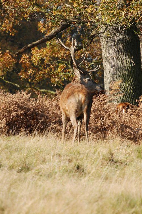 stag red deer cervus elaphus