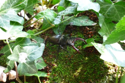 stag beetle insect beetle