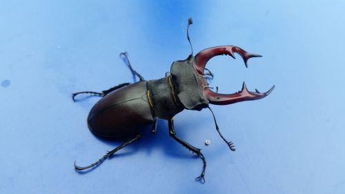 stag-beetle bug beetle