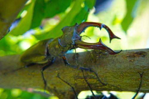 stag beetle beetle great stag beetle