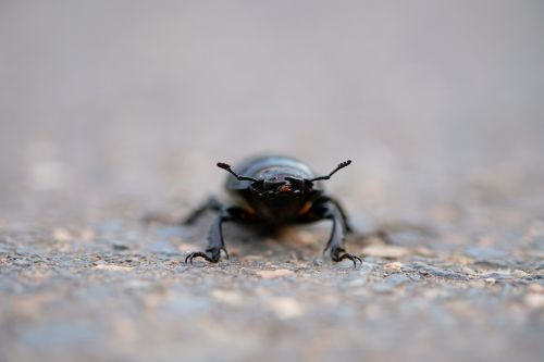 stag beetle beetle insect