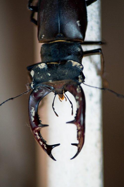 stag beetle  macro  nature