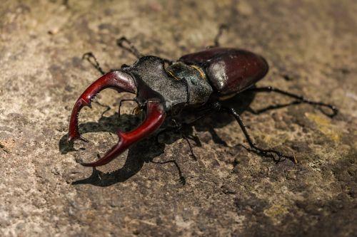 stag beetle great stag beetle lucanus cervus
