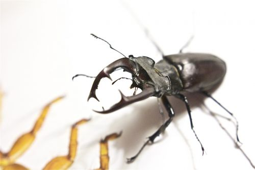 stag beetle kite insect