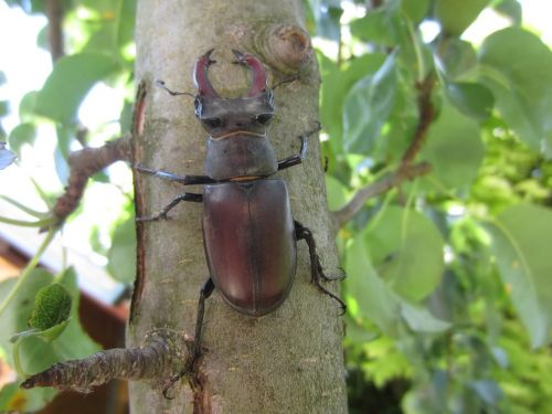 stag beetle tree pliers