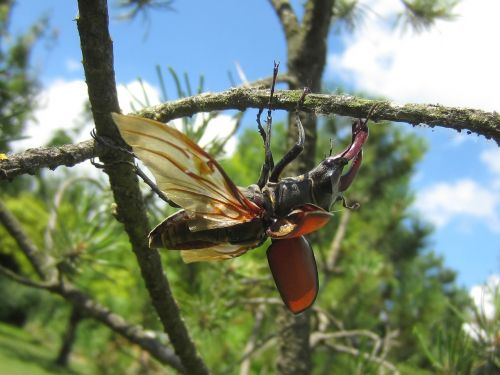 stag beetle tree wing