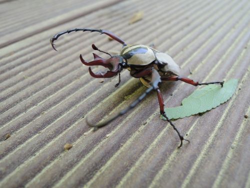 stag beetle scarab insects