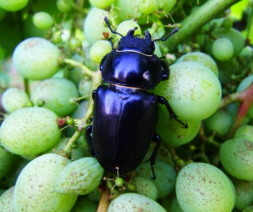 stag-beetle feminine insect
