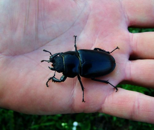 stag-beetle female insect