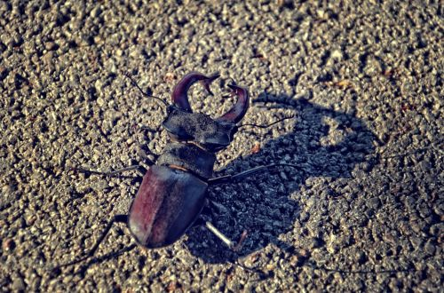 stagbeetle beetle insect