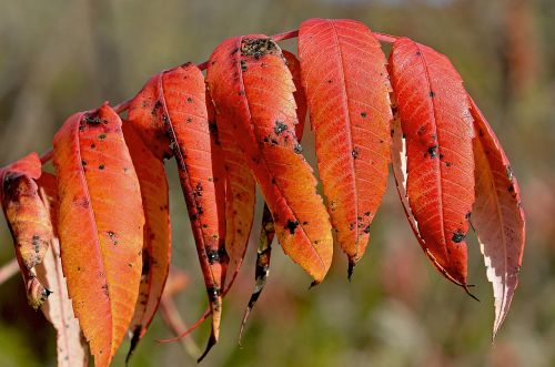 staghorn sumac red