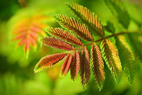 staghorn sumac  rhus typhina  leaf