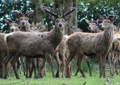 stags antlers deer