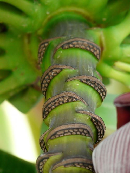 stalk banana shrub shrub