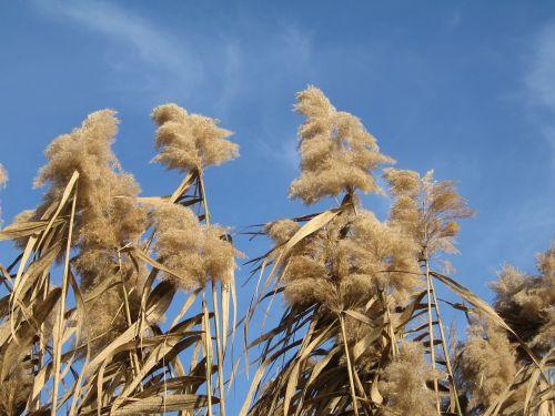 stalk flowering grass miscanthus plant