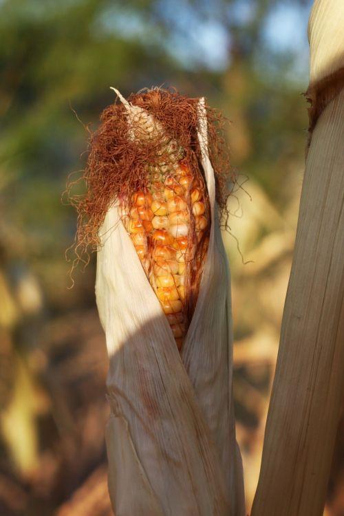 Stalk Of Indian Corn