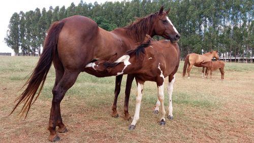 stallion horse colt