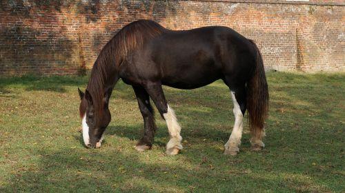 stallion horse mustang