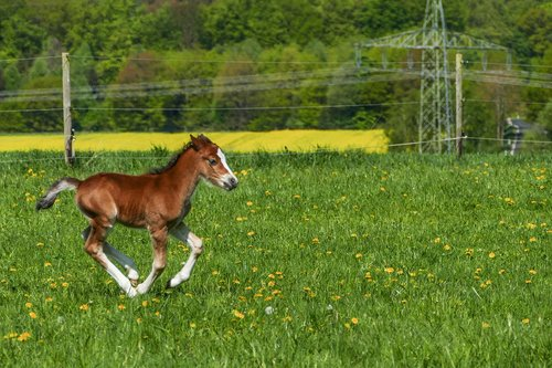 stallion foal galloping  pony foal  brown