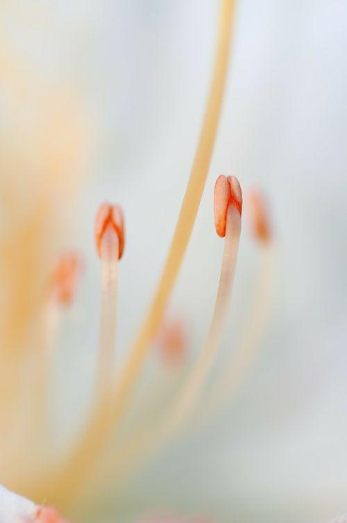 stamen flower macro