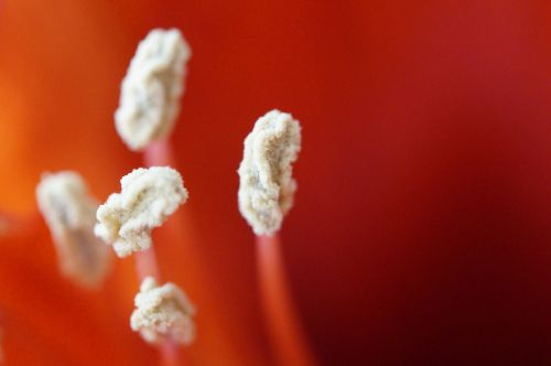 stamens close amaryllis